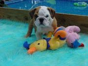 Lovely English bulldog Puppy For Adoption $150